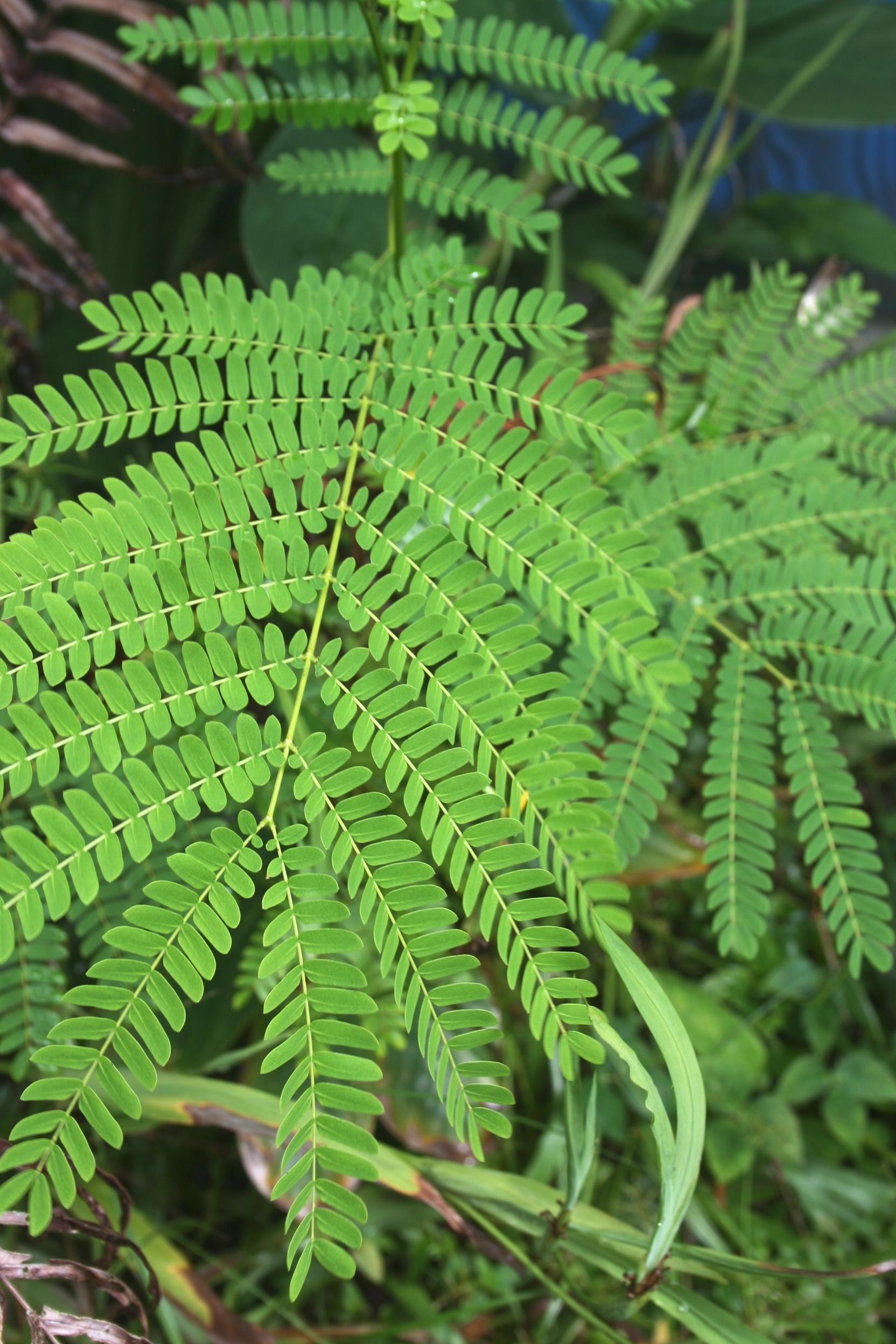 Albizia Trees in Hedonisia Hawaii