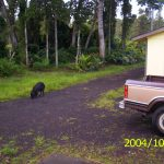 Puna jungle pig foraging in front of Jungle Cottage